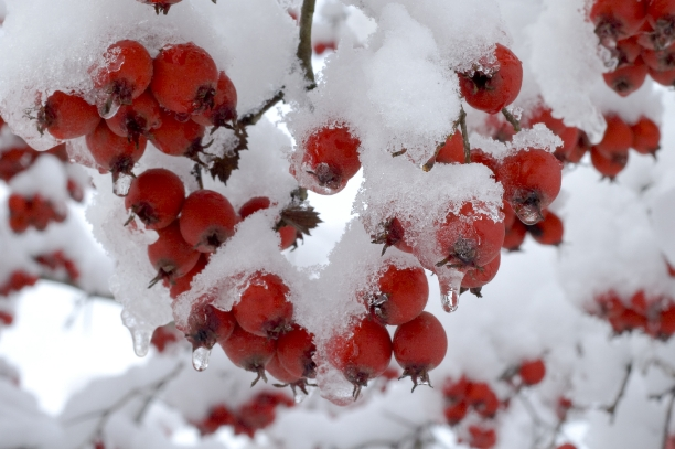 photo of berries covered in snow